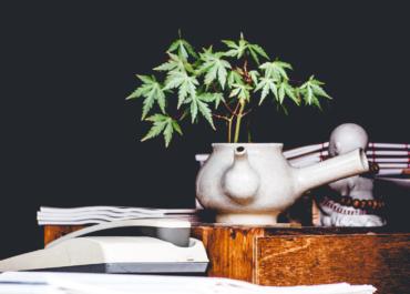 Cannabis houseplant
